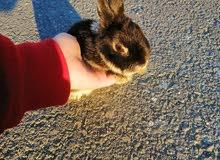 أرنب***( مقزم)