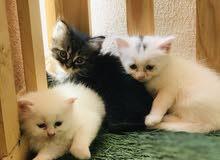 قطط هملايا صح