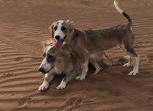 كلاب داشهند مكس مع مالتيز