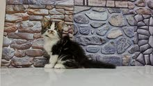 12000dhs fixed pure breed maine coon kitten with pedigree