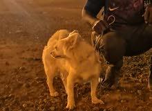 كلبة لولي فوكس