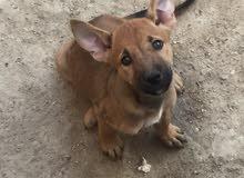 كلب جيرمن (بوليسي)