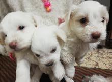 جراوي جريفون جيرمان German Maltese Puppies