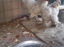 دجاج كوجن بيض شعر (طوبه )خمس اصابع