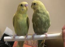 طيور حب اليفه للبيع