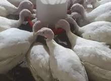 دجاج رومي أبيض فرنساوي مستورد