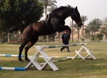 حصان اجنبي هولندي