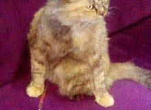 قطه رومي على شيرازي خمس شهور ونص