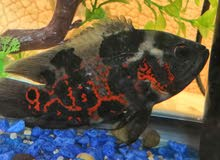 2 سمك أوسكار حجم متوسط