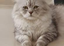 قط شيرازي شنشيلا للتزاوج male persian cat for mating