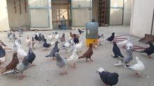 مجموعة حمام سوري
