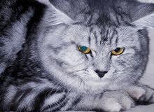 للبيع قطه ميكي طومسون ذكر اليف جدا