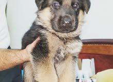 German shepherd pups 44 days super size