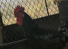 دجاج تركي أسود لمعه Toooop تمممم البيييييييع