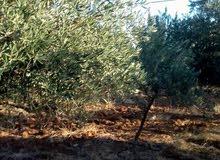 مادبا  -ذيبان   مزرعه 50 شجرةزيتون تشيك ممتاز وبوابه وخدمات.وشارع   للبيع