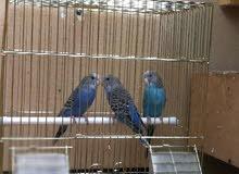 3 فروخ طيور حب