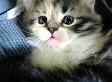 قطة شانشيلا عمر شهرين للبيع