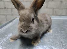 ارانب بوسكات rabbits boscat