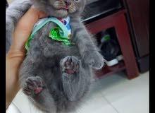 قطه سكوتش فولد