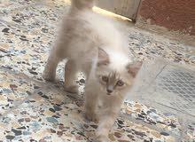 قط هملايا ذكر