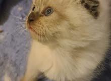 قطط هملايا Himalayan cats