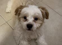 للبيع كلب شيتزو كتير حلو بحب اللعب ونط