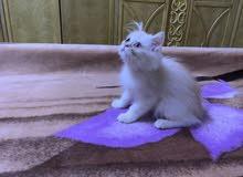 Fullfy beautiful playful creamy Persian male kitten