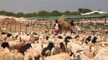 تيوس صومال بالجملة من ميناء صلالة مباشرة
