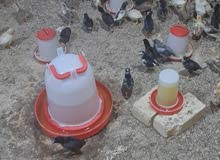افراخ دجاج