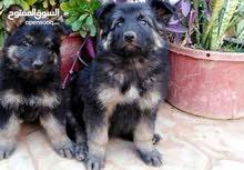 اريد كلب جيرمن شيبرد في حدود 3000 او 4000