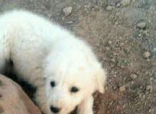 كلب زينة للبيع 0798167753