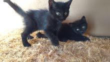 قطط ذكور شيرازي مكس 25دينار
