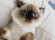 ابحث عن قطه أنثى العمر 9 شهور