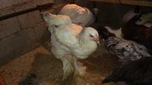 دجاجتين عملاق العمر 5 شهر ونصف