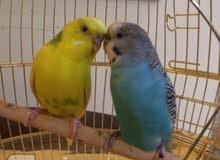 للبيع طيور حب زوج