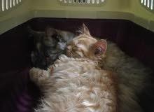 قطتين ذكر و انثى شيرازي عسل للتبني مع بعض فقط