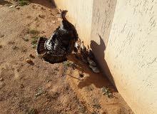 دجاجة رومي تحتها 10فروخ