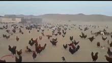 السلام عليكم مطلوب دجاج عرب 5دجاجات وديج كون من شمال البصره دير قرنه نشوه