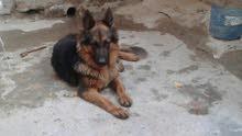كلبة جيرمن العمر 9اشهر لقاحات كاملة السعر 6 أوراق الشراي خلي يجي على الواتساب