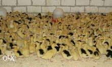 جميع انواع الطيور بط مسكوفي فراخ بلدي