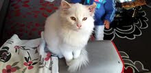 قط وقطه شيرازى