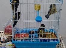 طائر الحداد 6 فورخا