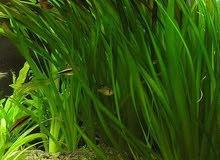 vallisnaria aquatic plant for sale