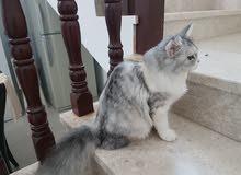 فقدان قطة في الحيل الشمالية قريب من الجامع الجيطالي .. أرجو من يراها  أبلاغي