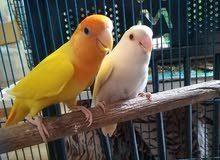 Love Birds Breeding Pair
