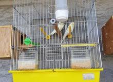 عصافير زينه للبيع