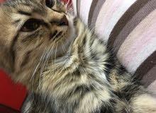 قطه نوع سيبيري روسيه 10 شهور