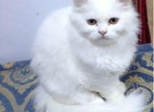 ذكر قط شيراوي بيور