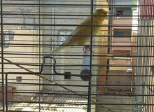 طائر كناري مشوش يصفر