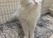 للبيع قطة شيرازي طالبه تزاوج